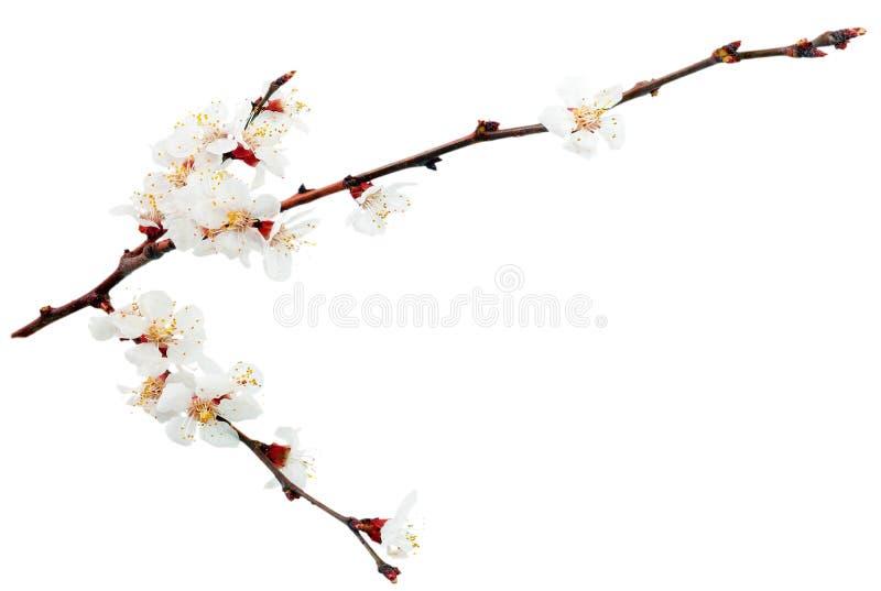 Filial med blomningar. arkivfoton