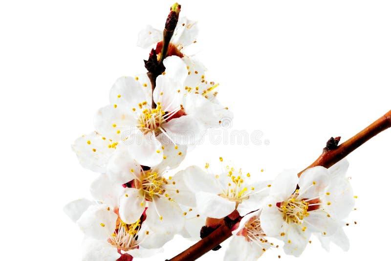 Filial med blomningar. Isolerat på vit bakgrund. arkivfoton