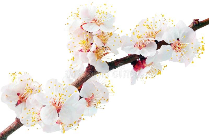 Filial med blomningar. Isolerat på vit bakgrund. royaltyfri fotografi