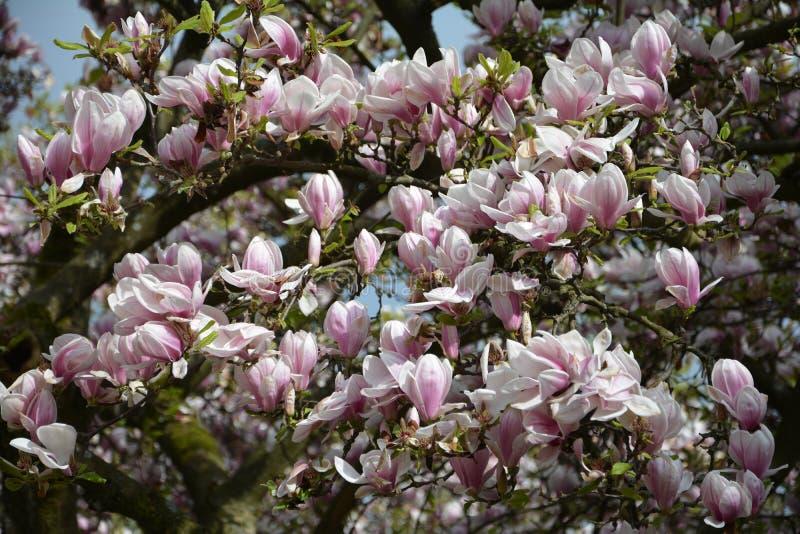 Filial med många rosa magnoliablomningar royaltyfri bild