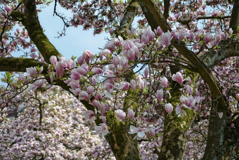 Filial med många rosa magnoliablomningar arkivfoto