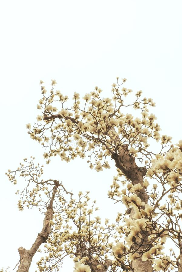 Filial med magnoliablommor fotografering för bildbyråer