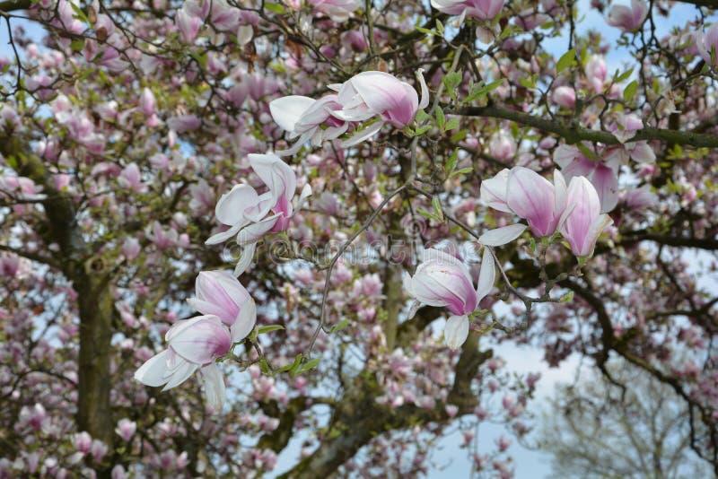 Filial med magnoliablomningar royaltyfri fotografi