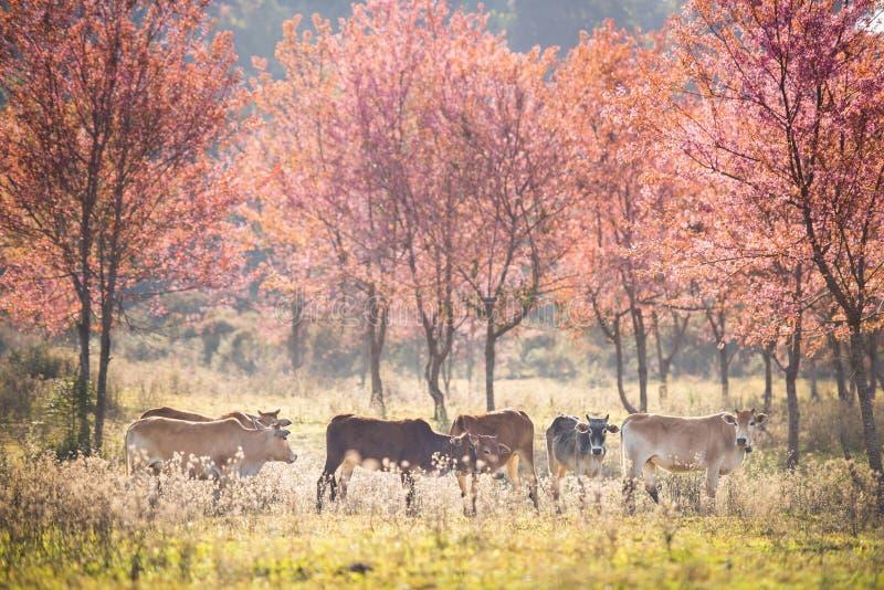 Filial med rosa den sakura blomningar och kon i Thailand arkivbild