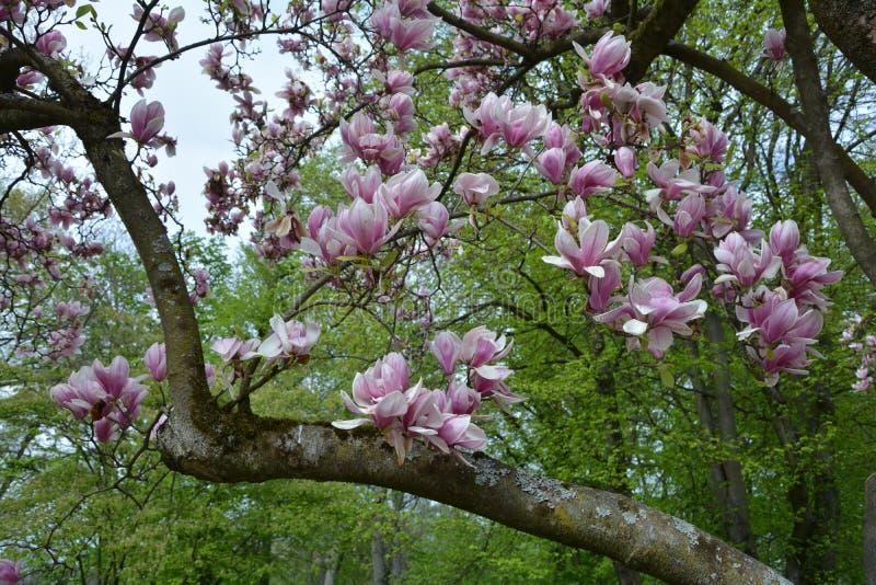 Filial med rosa magnoliablomningar arkivfoton