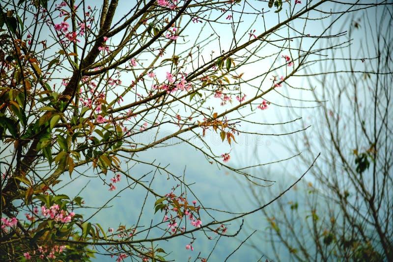 Filial med rosa sakura blomningblommor Naturlig bakgrund på högländer fotografering för bildbyråer