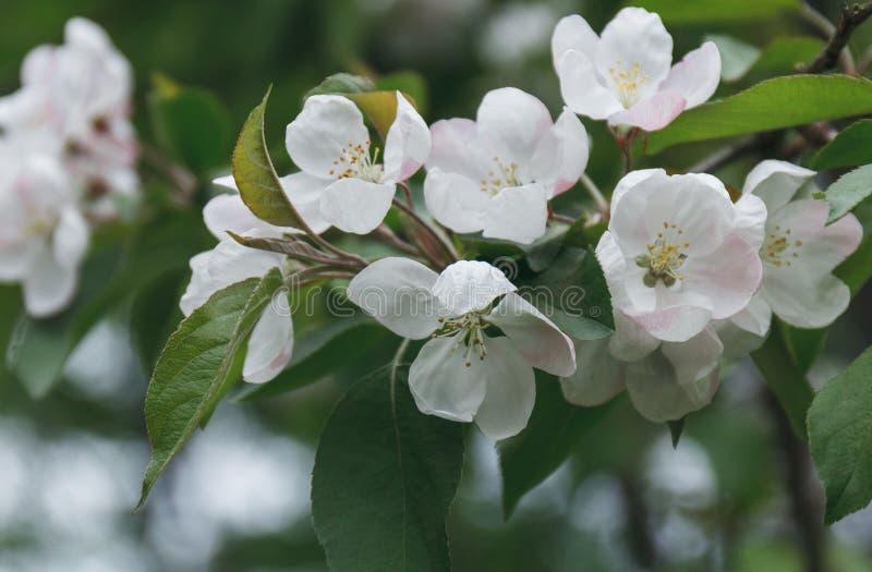 Filial med vita blommor av äppleträdet Blomning över naturspr royaltyfri foto