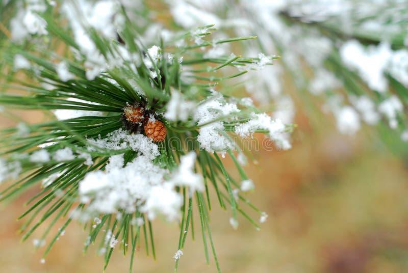 Filial nevado do pinho fotografia de stock royalty free