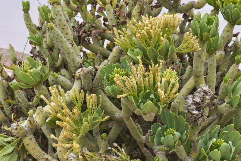Filial och blommor av den suckulenta växten för Kleinia neriifolia arkivfoto