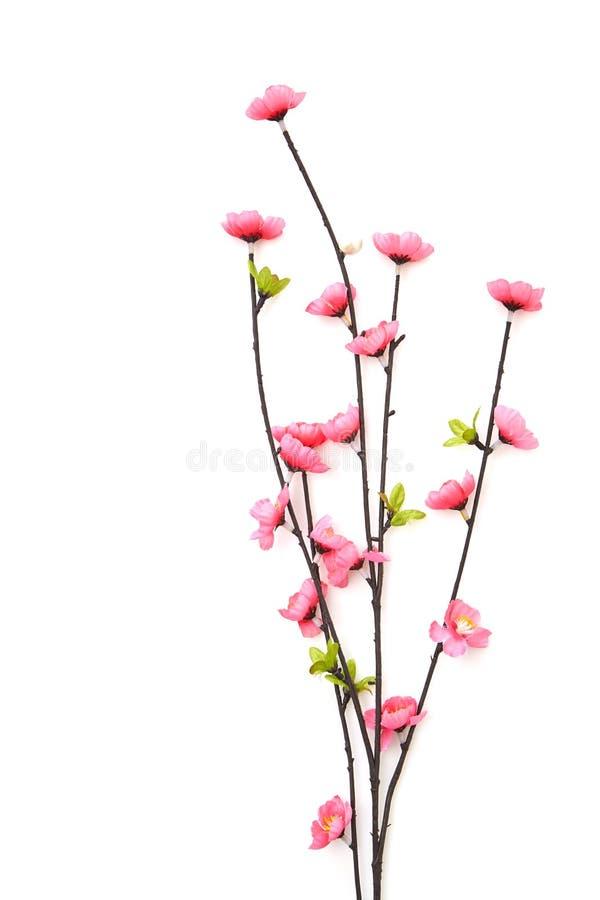 Filial rosa Cherry Blossoms fotografering för bildbyråer