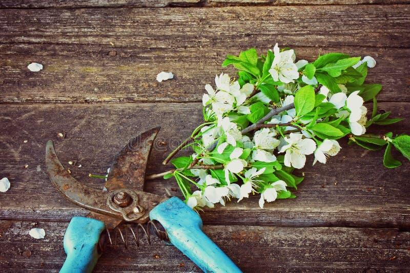 Filial som blomstrar plommonet och rostig trädgårds- pruner royaltyfri fotografi