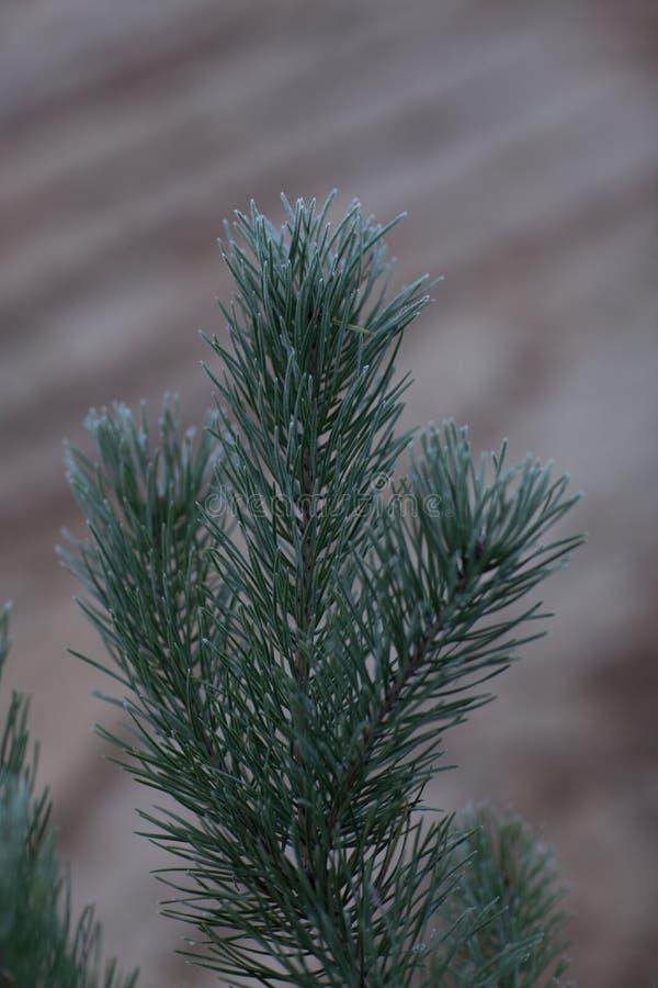 Filial verde da pinho-árvore imagem de stock royalty free