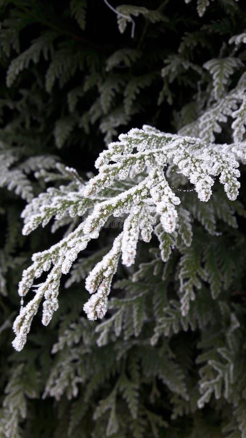 Filiale congelata del pino fotografie stock