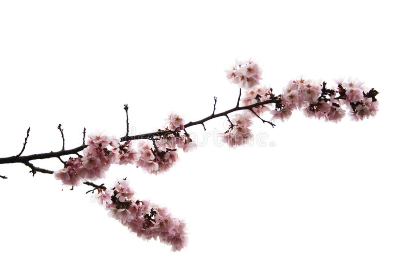 Filiale del fiore di ciliegia fotografia stock