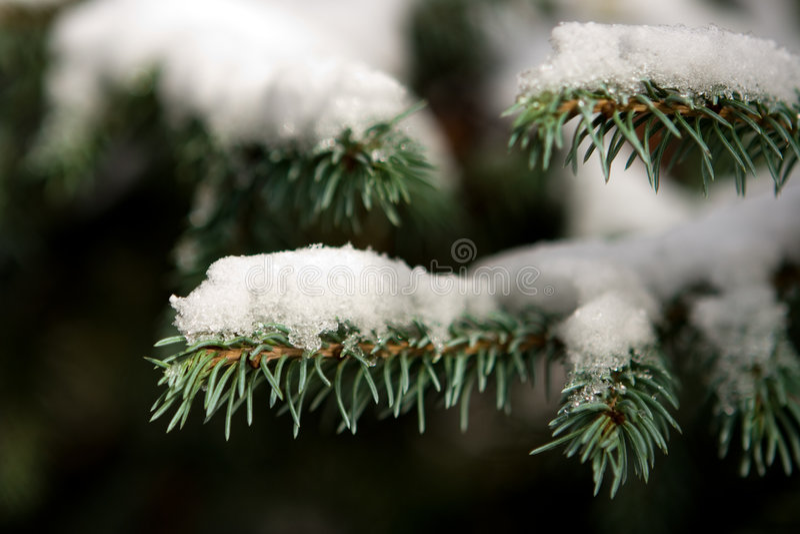 Filiale dell'abete in neve fotografia stock