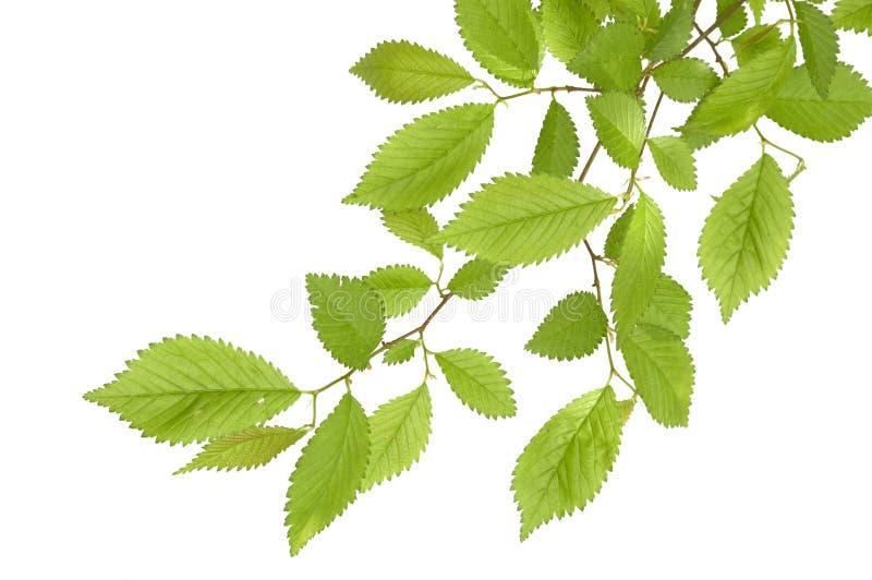 Filiale dell'albero immagine stock