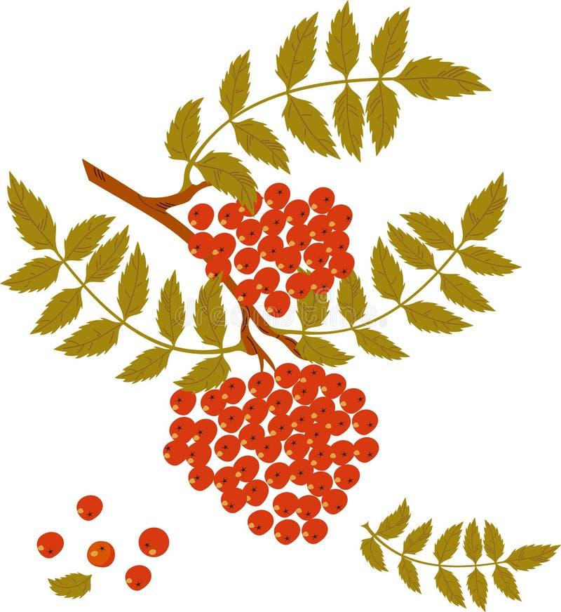 Filiale della cenere di montagna con le bacche rosse. royalty illustrazione gratis