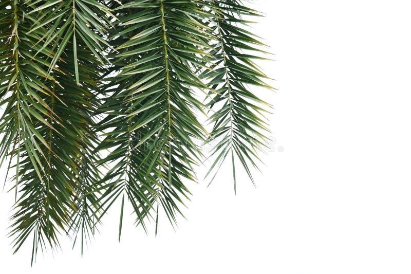 Filiale della palma fotografie stock