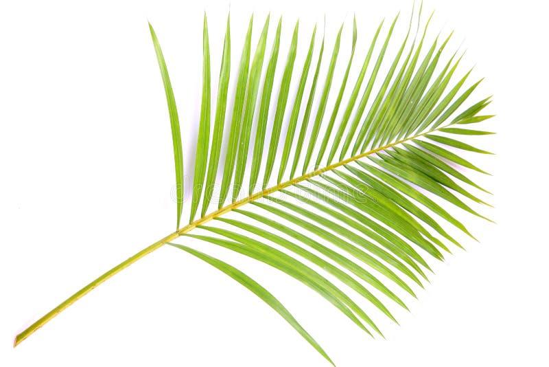Filiale della palma fotografie stock libere da diritti