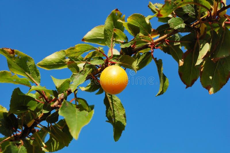 Filiale della prugna di ciliegia contro cielo blu fotografia stock libera da diritti