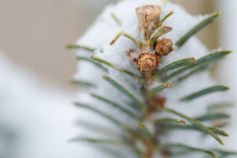 Filiale di albero dell'abete coperta di neve fotografia stock libera da diritti