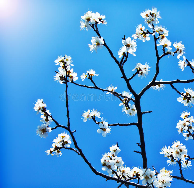 Filiale di albero di fioritura sopra cielo blu fotografia stock