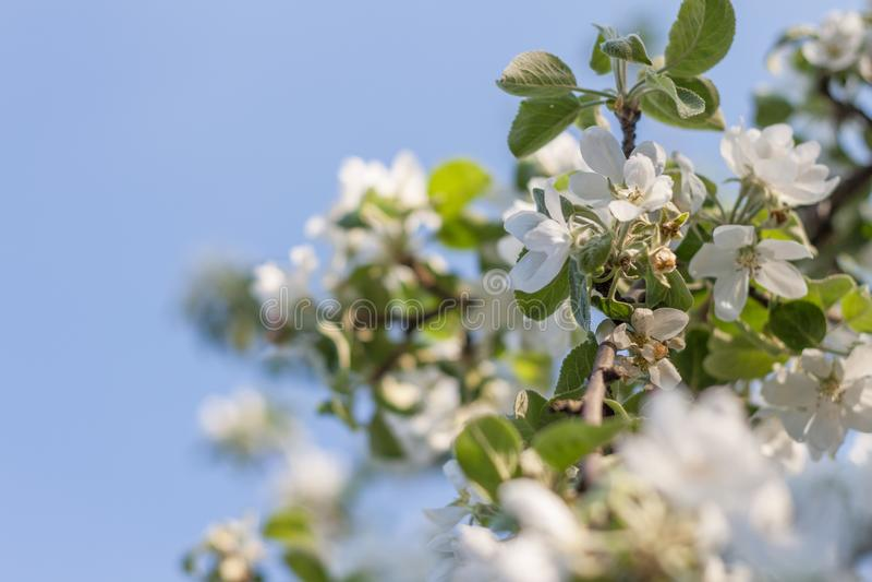 Filiale di albero di fioritura immagine stock