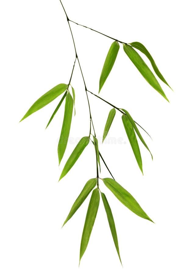 Filiale di bambù verde isolata su bianco immagine stock
