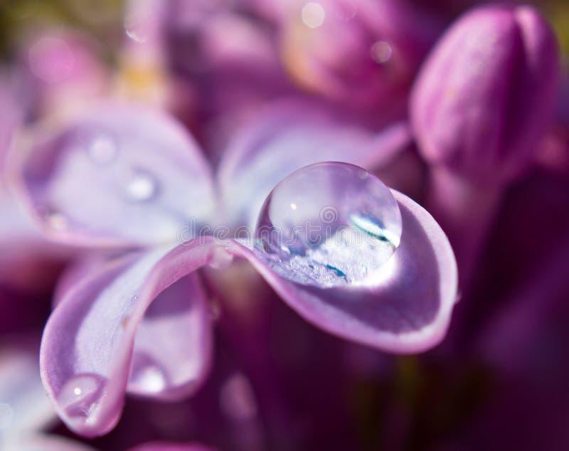 Filiale di bello lillà fotografie stock