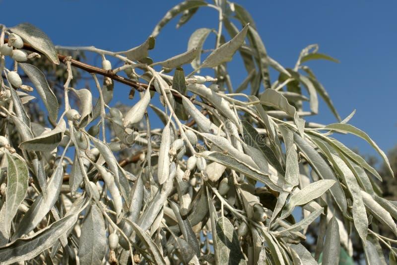 Filiale di di olivo selvatico fotografia stock immagine for Acquisto piante olivo