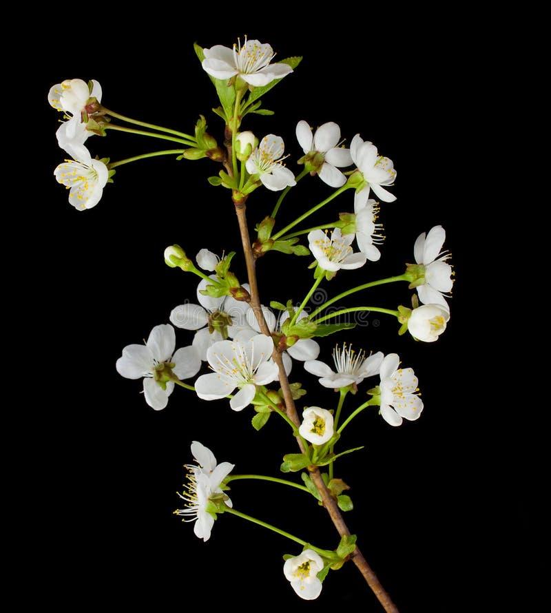 Filiale di fioritura della ciliegia fotografie stock libere da diritti