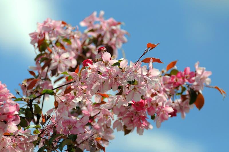Download Filiale Di Fioritura Di Sakura (Primavera) Fotografia Stock - Immagine di foglio, flora: 55359220