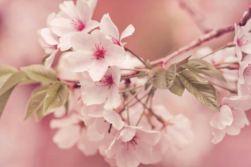 Filiale di melo in fioritura immagine stock