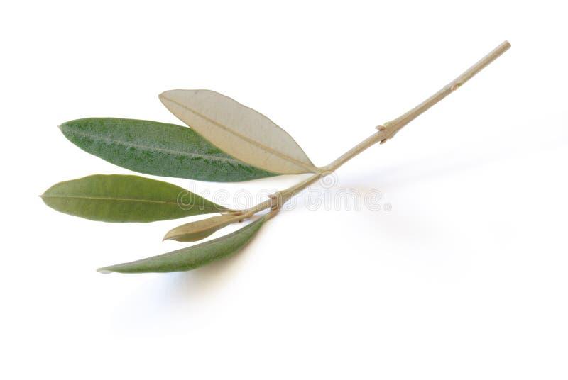 Filiale di oliva fotografia stock