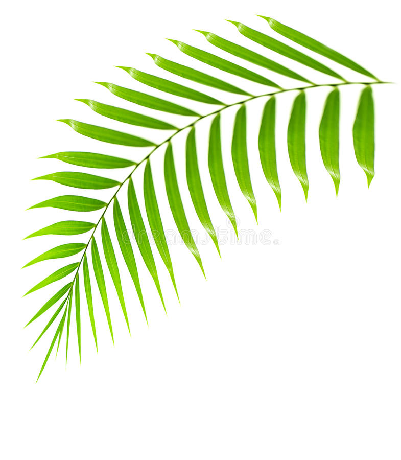 Filiale fresca della palma isolata fotografia stock libera da diritti