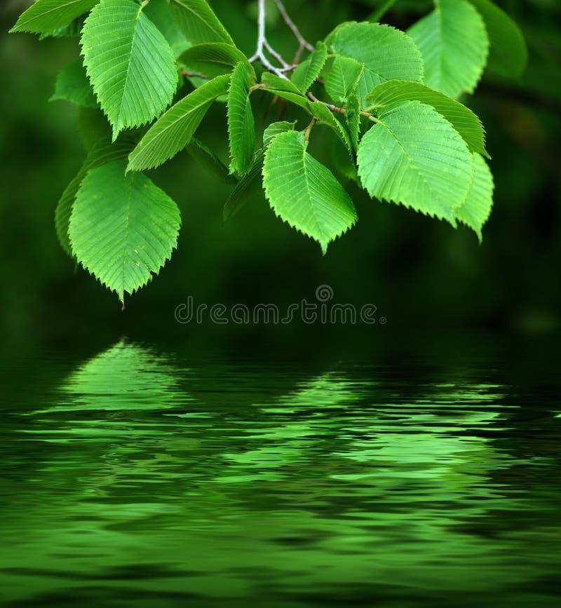 Filiale riflessa in acqua. fotografia stock