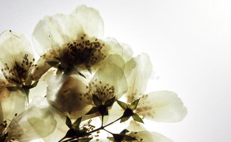 Filiale secca dei fiori del gelsomino immagine stock