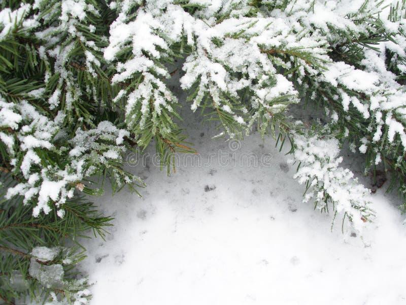 Filiale Snowbound di abete immagini stock libere da diritti