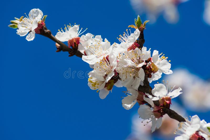 Filialen av aprikosträdet med att blomma vita blommor stänger sig upp mot den blåa himlen royaltyfri foto