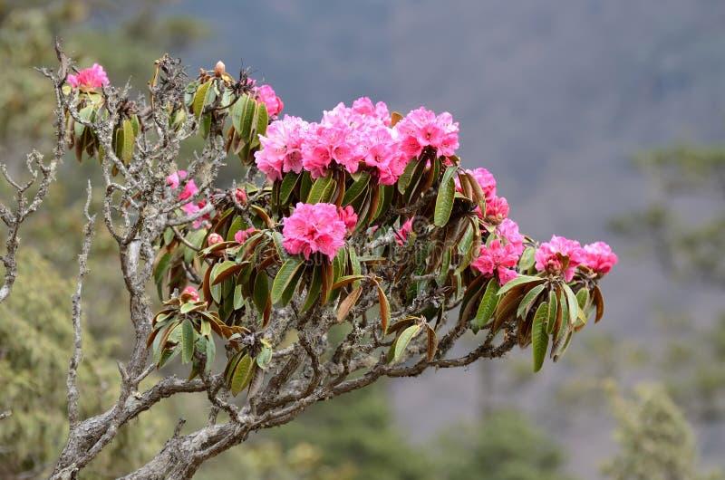 Filialen av att blomstra rhododendron blommar i Himalayas, Nepal arkivfoto
