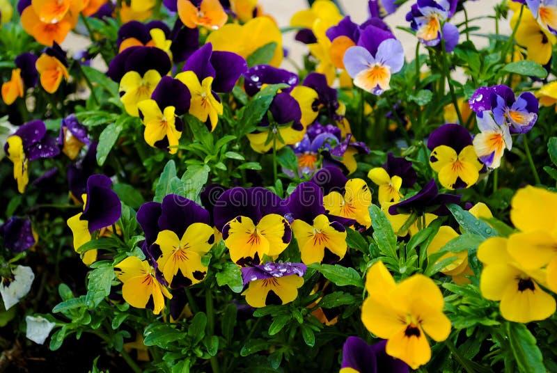 Filialen av den färgrika penséen blommar på sommarbakgrund arkivbild