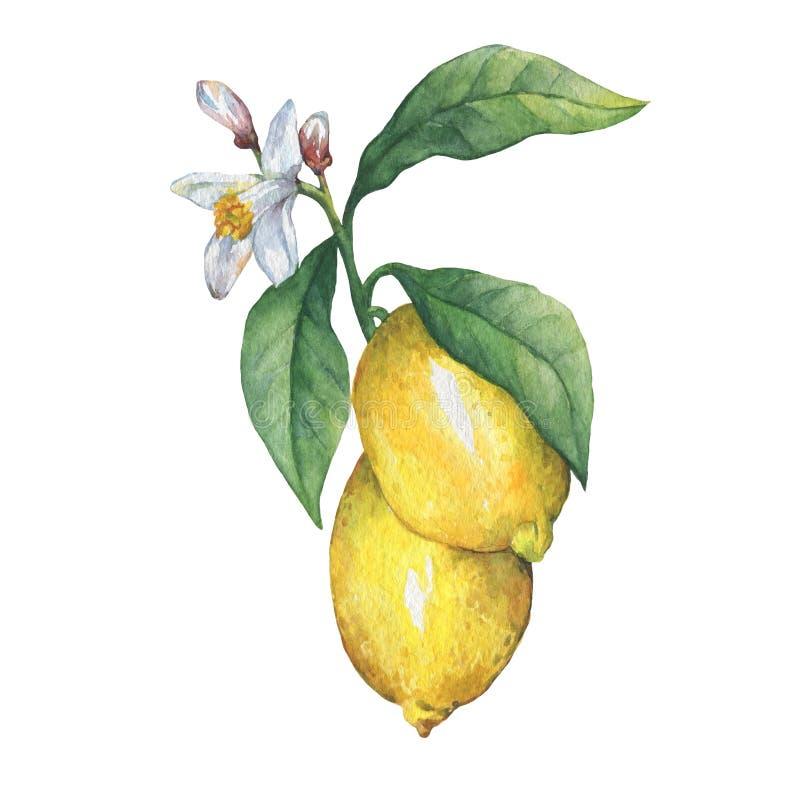 Filialen av den nya citrusfruktcitronen med gräsplan lämnar och blommar royaltyfri illustrationer