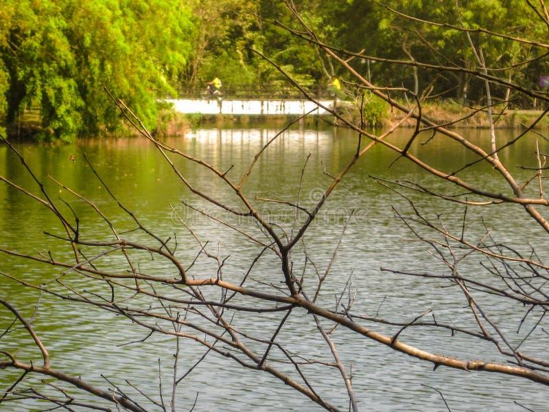 Filialen av det torra trädet på vattnet med trädet i parkerar bakgrund royaltyfri fotografi