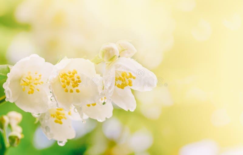 Filialen av jasmin blommar med regndroppar i det mjuka solljuset fotografering för bildbyråer