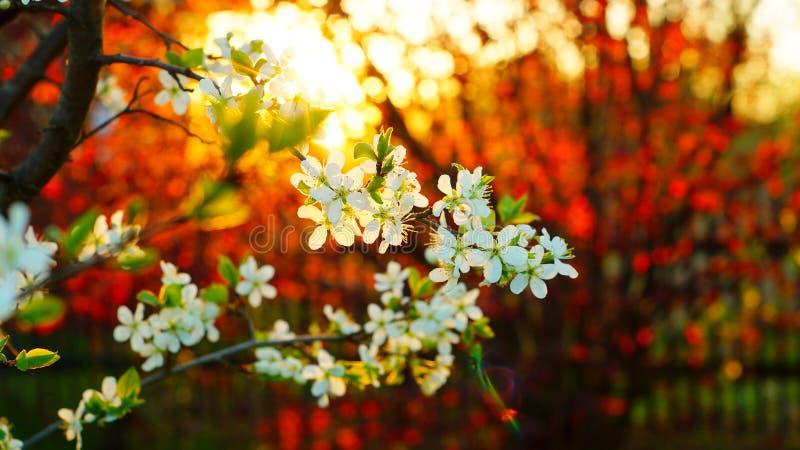 Filialen av päronträdet blommar på bakgrunden av den röda hasselträt royaltyfri foto