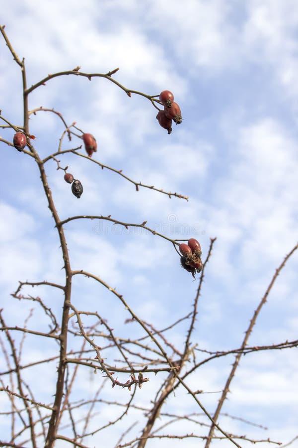 Filialen av röda frukter av nyponhund-rosen, den Rosa caninaen, kärnar ur fröskidor av den lösa rosen, närbild fotografering för bildbyråer
