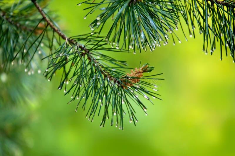 Filialen av sörja-trädet med den unga kotten och regn tappar på visare fotografering för bildbyråer
