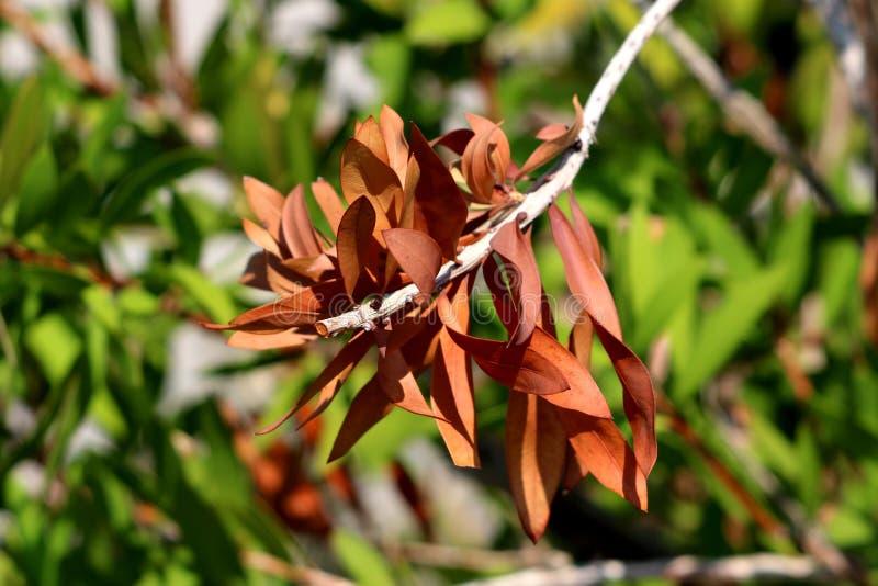 Filialen för det enkla trädet för bottlebrushen eller Callistemon lämnar växten torkade med multipelbrunt fortfarande fäst royaltyfria bilder