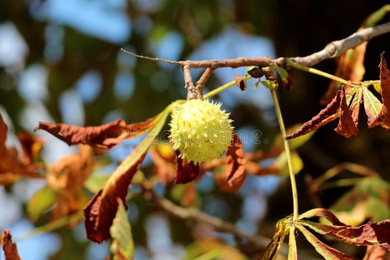 Filialen för det kastanjebruna trädet med enkelt stängde taggig cupule som omgavs med höstsidor royaltyfri fotografi