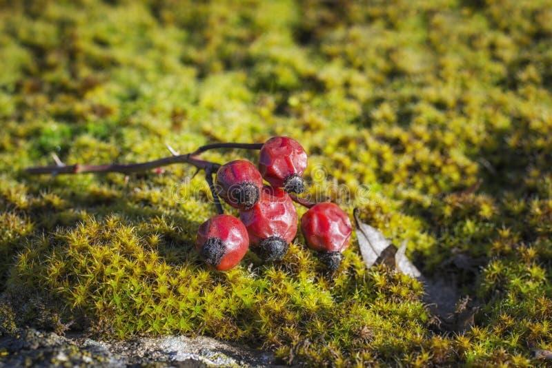Filialen med frukterna av nyponet ligger p fotografering för bildbyråer